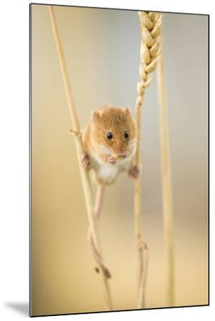 Harvest Mouse (Micromys Minutus) On Wheat Stem Feeding, Devon, UK, July. Captive-Ross Hoddinott-Mounted Photographic Print