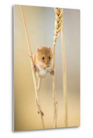 Harvest Mouse (Micromys Minutus) On Wheat Stem Feeding, Devon, UK, July. Captive-Ross Hoddinott-Metal Print