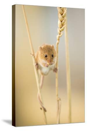 Harvest Mouse (Micromys Minutus) On Wheat Stem Feeding, Devon, UK, July. Captive-Ross Hoddinott-Stretched Canvas Print