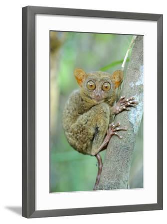 Philippine Tarsier (Carlito Syrichta) Portrait, Captive, Philippine Tarsier And Wildlife Sanctuary-Mark Macewen-Framed Photographic Print