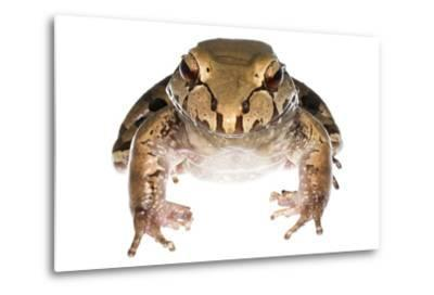 Savage'S Thin-Toed Frog (Leptodactylus Savagei) Isla Colon, Panama. Meetyourneighbours.Net Project-Jp Lawrence-Metal Print