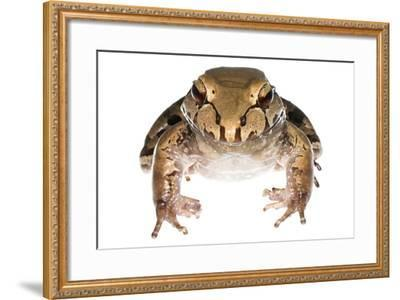 Savage'S Thin-Toed Frog (Leptodactylus Savagei) Isla Colon, Panama. Meetyourneighbours.Net Project-Jp Lawrence-Framed Photographic Print
