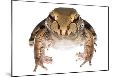 Savage'S Thin-Toed Frog (Leptodactylus Savagei) Isla Colon, Panama. Meetyourneighbours.Net Project-Jp Lawrence-Mounted Photographic Print