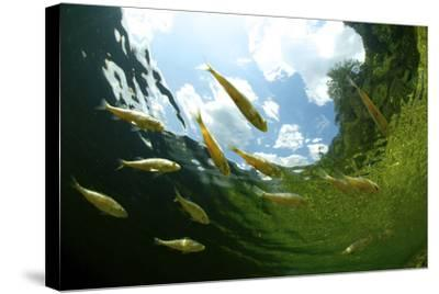 School Of Young European Perch (Perca Fluviatilis) In Altausseer Lake, Austria, July-Bert Willaert-Stretched Canvas Print