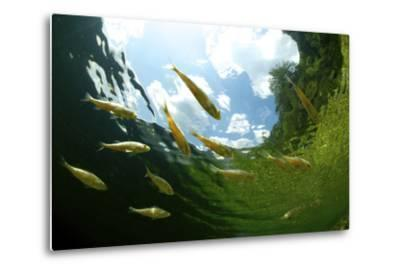 School Of Young European Perch (Perca Fluviatilis) In Altausseer Lake, Austria, July-Bert Willaert-Metal Print