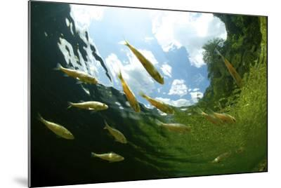 School Of Young European Perch (Perca Fluviatilis) In Altausseer Lake, Austria, July-Bert Willaert-Mounted Photographic Print