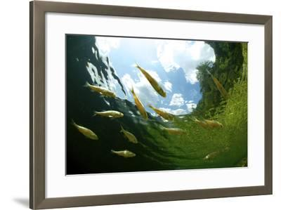 School Of Young European Perch (Perca Fluviatilis) In Altausseer Lake, Austria, July-Bert Willaert-Framed Photographic Print
