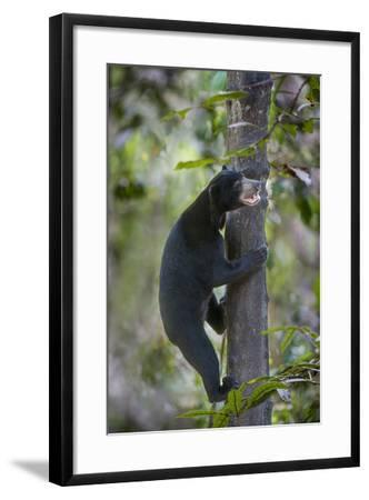 Bornean Sun Bear (Helarctos Malayanus Euryspilus) Climbing Tree At Conservation Centre-Nick Garbutt-Framed Photographic Print