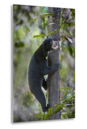 Bornean Sun Bear (Helarctos Malayanus Euryspilus) Climbing Tree At Conservation Centre-Nick Garbutt-Metal Print