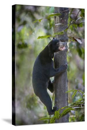 Bornean Sun Bear (Helarctos Malayanus Euryspilus) Climbing Tree At Conservation Centre-Nick Garbutt-Stretched Canvas Print