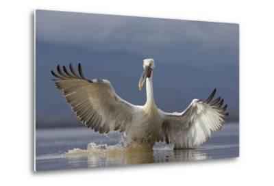 Dalmatian Pelican (Pelecanus Crispus) Pelican Landing While Fishing.Lake Kerkini, Greece. February-David Pattyn-Metal Print