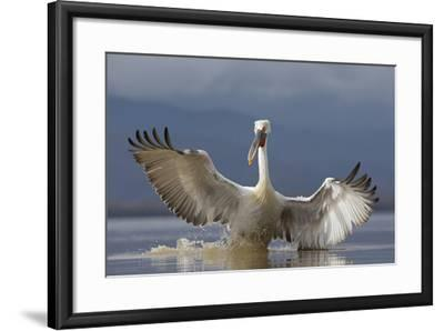 Dalmatian Pelican (Pelecanus Crispus) Pelican Landing While Fishing.Lake Kerkini, Greece. February-David Pattyn-Framed Photographic Print