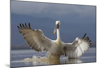 Dalmatian Pelican (Pelecanus Crispus) Pelican Landing While Fishing.Lake Kerkini, Greece. February-David Pattyn-Mounted Photographic Print
