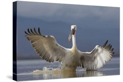 Dalmatian Pelican (Pelecanus Crispus) Pelican Landing While Fishing.Lake Kerkini, Greece. February-David Pattyn-Stretched Canvas Print