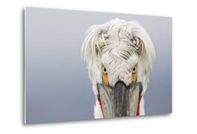 Dalmatian Pelican (Pelecanus Crispus) Portrait, Close-Up Of Eyes, Lake Kerkini, Greece. February-David Pattyn-Metal Print