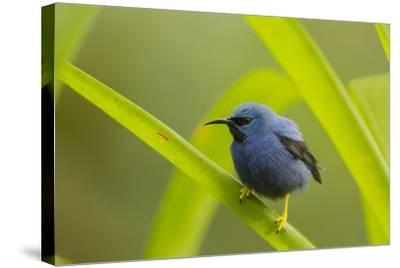 Shining Honeycreeper (Cyanerpes Lucidus) Costa Rica-Paul Hobson-Stretched Canvas Print