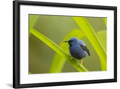 Shining Honeycreeper (Cyanerpes Lucidus) Costa Rica-Paul Hobson-Framed Photographic Print