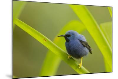Shining Honeycreeper (Cyanerpes Lucidus) Costa Rica-Paul Hobson-Mounted Photographic Print