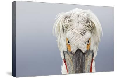 Dalmatian Pelican (Pelecanus Crispus) Portrait, Close-Up Of Eyes, Lake Kerkini, Greece. February-David Pattyn-Stretched Canvas Print