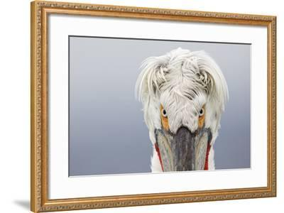 Dalmatian Pelican (Pelecanus Crispus) Portrait, Close-Up Of Eyes, Lake Kerkini, Greece. February-David Pattyn-Framed Photographic Print