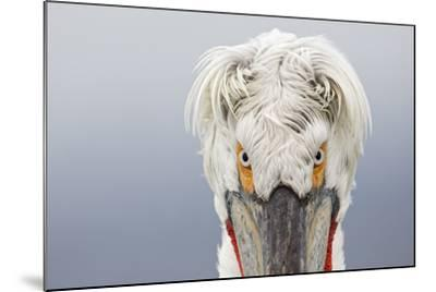 Dalmatian Pelican (Pelecanus Crispus) Portrait, Close-Up Of Eyes, Lake Kerkini, Greece. February-David Pattyn-Mounted Photographic Print