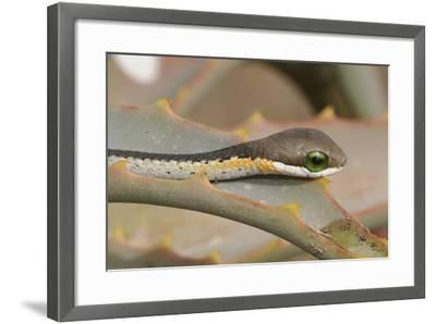 Boomslang (Dispholidus Typus) Neonate Snake On Aloe-Tony Phelps-Framed Photographic Print