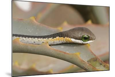Boomslang (Dispholidus Typus) Neonate Snake On Aloe-Tony Phelps-Mounted Photographic Print