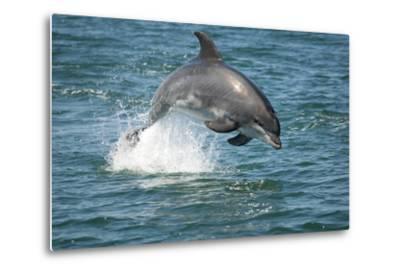 Bottlenose Dolphin (Tursiops Truncatus) Porpoising, Sado Estuary, Portugal-Pedro Narra-Metal Print