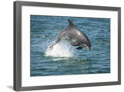 Bottlenose Dolphin (Tursiops Truncatus) Porpoising, Sado Estuary, Portugal-Pedro Narra-Framed Photographic Print