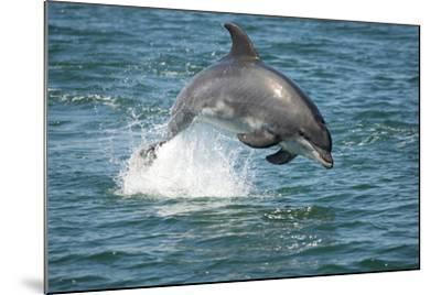 Bottlenose Dolphin (Tursiops Truncatus) Porpoising, Sado Estuary, Portugal-Pedro Narra-Mounted Photographic Print