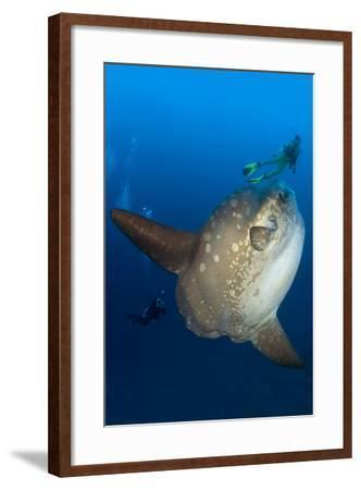 Scuba Diver With Ocean Sunfish (Mola Mola) Crystal Bay, Nusa Penida, Bali Island-Franco Banfi-Framed Photographic Print