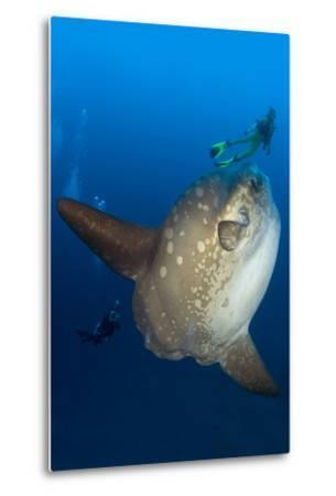 Scuba Diver With Ocean Sunfish (Mola Mola) Crystal Bay, Nusa Penida, Bali Island-Franco Banfi-Metal Print