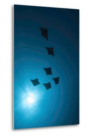Devil Rays (Mobula Japonica) Viewed From Below, South Ari Atoll, Maldives-Michael Pitts-Metal Print