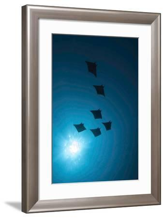 Devil Rays (Mobula Japonica) Viewed From Below, South Ari Atoll, Maldives-Michael Pitts-Framed Photographic Print