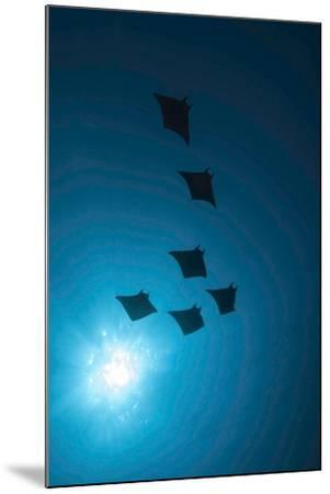 Devil Rays (Mobula Japonica) Viewed From Below, South Ari Atoll, Maldives-Michael Pitts-Mounted Photographic Print