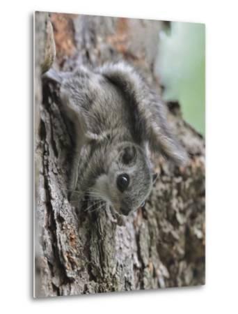 Siberian Flying Squirrel (Pteromys Volans) Juvenile, Central Finland, June-Jussi Murtosaari-Metal Print