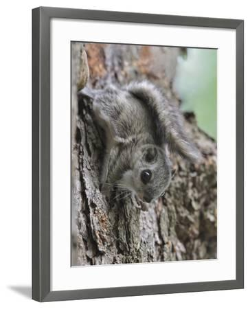 Siberian Flying Squirrel (Pteromys Volans) Juvenile, Central Finland, June-Jussi Murtosaari-Framed Photographic Print