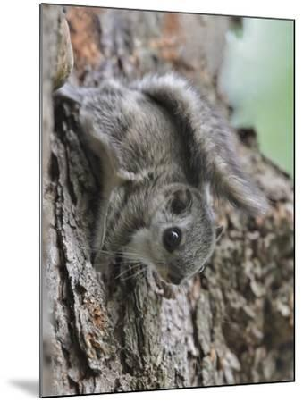 Siberian Flying Squirrel (Pteromys Volans) Juvenile, Central Finland, June-Jussi Murtosaari-Mounted Photographic Print
