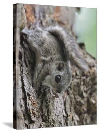 Siberian Flying Squirrel (Pteromys Volans) Juvenile, Central Finland, June-Jussi Murtosaari-Stretched Canvas Print