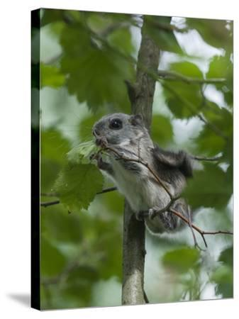Siberian Flying Squirrel (Pteromys Volans) Baby Feeding On Leaves, Central Finland, June-Jussi Murtosaari-Stretched Canvas Print