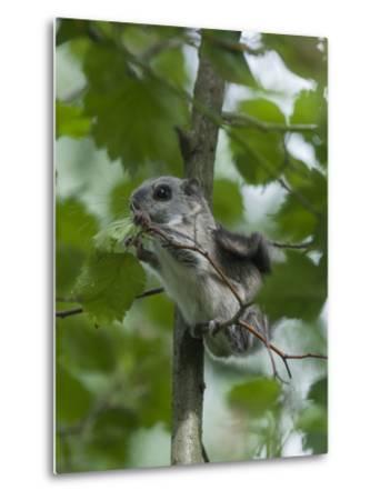 Siberian Flying Squirrel (Pteromys Volans) Baby Feeding On Leaves, Central Finland, June-Jussi Murtosaari-Metal Print