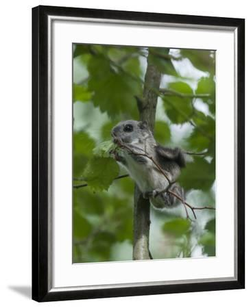 Siberian Flying Squirrel (Pteromys Volans) Baby Feeding On Leaves, Central Finland, June-Jussi Murtosaari-Framed Photographic Print