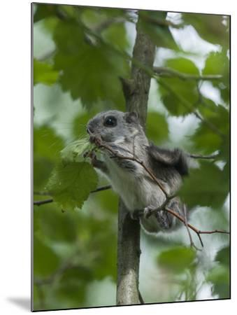 Siberian Flying Squirrel (Pteromys Volans) Baby Feeding On Leaves, Central Finland, June-Jussi Murtosaari-Mounted Photographic Print