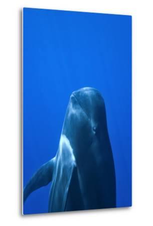 Short-Finned Pilot Whale (Globicephala Macrorhynchus) Close To The Surface-Pascal Kobeh-Metal Print
