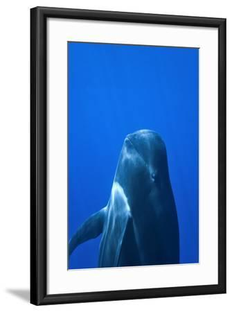 Short-Finned Pilot Whale (Globicephala Macrorhynchus) Close To The Surface-Pascal Kobeh-Framed Photographic Print