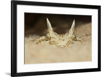African Horned Viper (Cerastes Cerastes), Captive-Claudio Contreras-Framed Photographic Print