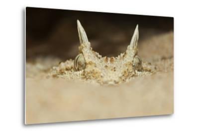 African Horned Viper (Cerastes Cerastes), Captive-Claudio Contreras-Metal Print