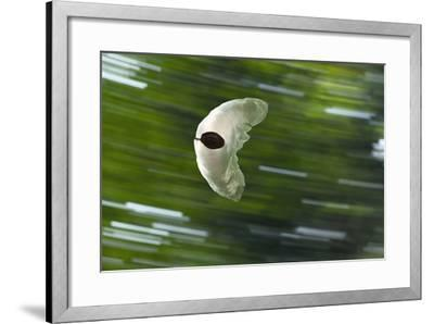 Gliding Seed Of Climbing Gourd (Alsomitra Macrocarpa) In Tropical Rainforest-Konrad Wothe-Framed Photographic Print