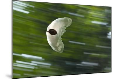 Gliding Seed Of Climbing Gourd (Alsomitra Macrocarpa) In Tropical Rainforest-Konrad Wothe-Mounted Photographic Print