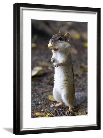 Eastern Chipmunk (Tamias Striatus) With Peanut In Mouth Pouch, Algonquin Provincial Park, Ontario-Ben Lascelles-Framed Photographic Print